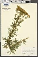 Achillea nobilis image