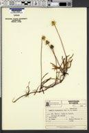 Image of Acmella leptophylla