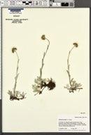 Antennaria alpina image