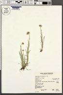 Antennaria luzuloides image