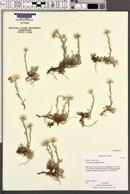 Antennaria microphylla image