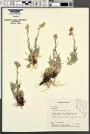 Antennaria microcephala image