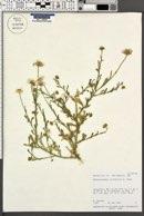 Aphanostephus ramosissimus var. humilis image