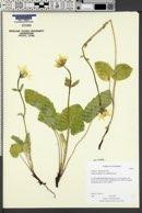 Arnica cordifolia var. cordifolia image