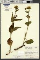 Arnica diversifolia image