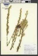 Laennecia sophiifolia image