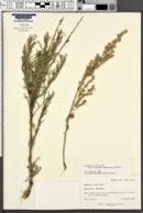 Artemisia cana image