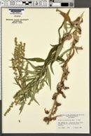 Artemisia douglasiana image