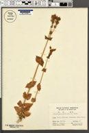Blackstonia perfoliata image