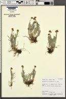 Antennaria stenophylla image