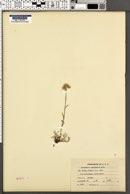 Antennaria umbrinella image