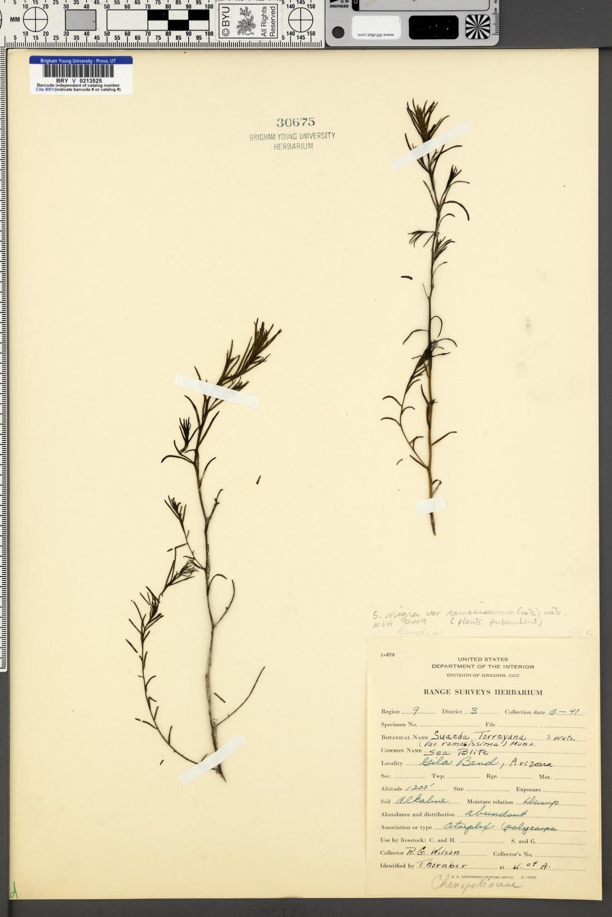 Suaeda nigra var. ramosissima image