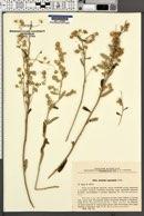 Image of Artemisia lagocephala