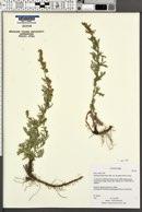 Artemisia ludoviciana subsp. incompta image