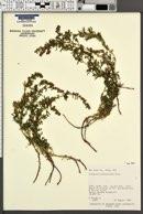 Artemisia michauxiana image