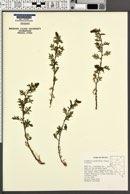 Image of Artemisia packardiae