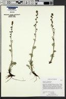 Artemisia scopulorum image