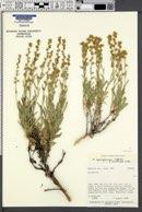 Artemisia spiciformis image