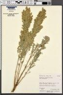 Artemisia tridentata subsp. tridentata image