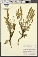 Artemisia tridentata subsp. wyomingensis image