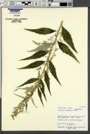 Image of Artemisia monophylla