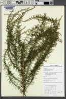 Image of Artemisia lancea