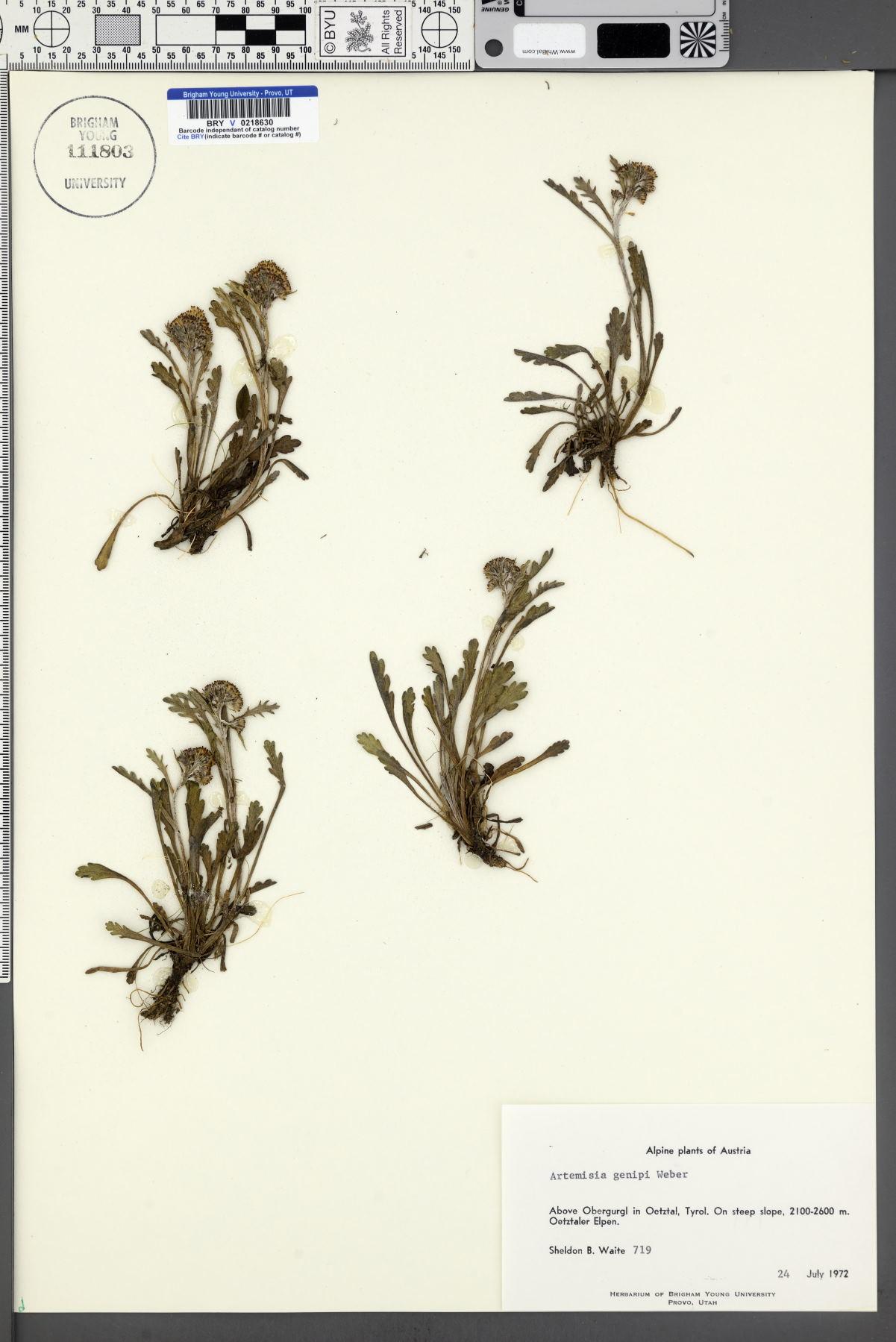 Artemisia genipi image