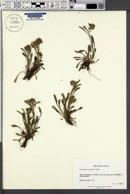Image of Artemisia genipi