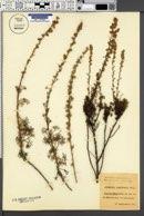 Image of Artemisia alba