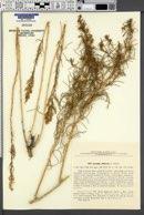 Image of Artemisia albicerata