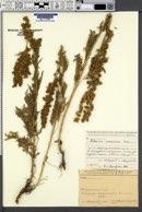 Image of Artemisia armeniaca