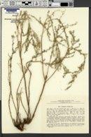 Image of Artemisia serotina