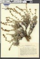 Image of Artemisia leucotricha