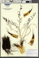 Chlorogalum pomeridianum image