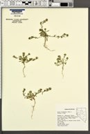Symphyotrichum frondosum image