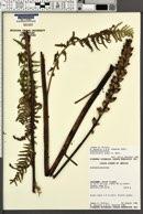 Pedicularis procera image