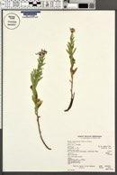 Eucephalus elegans image