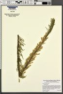 Tamarix parviflora image