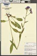 Symphyotrichum spathulatum var. spathulatum image