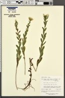 Image of Aster curtus