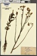 Crepis biennis image