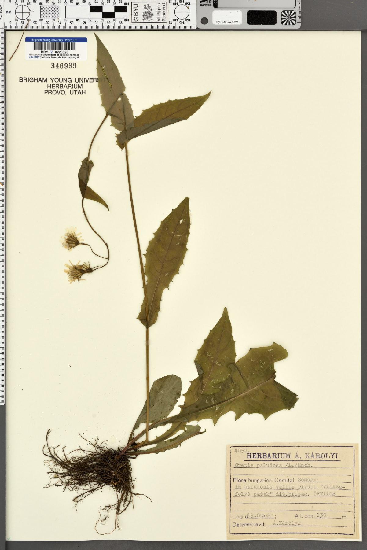 Crepis paludosa image