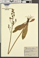 Crepis praemorsa image