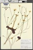 Atrichoseris platyphylla image