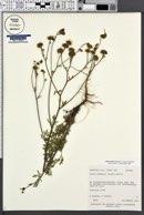 Hymenothrix dissecta image