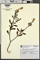 Baccharis spicata image