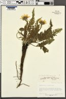 Balsamorhiza hispidula image