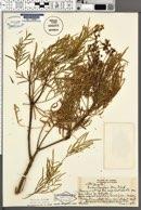 Image of Bidens menziesii