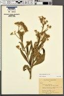 Image of Blumea balsamifera