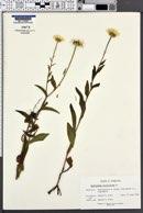 Buphthalmum salicifolium image